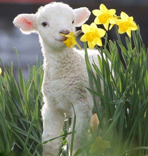 the lamb 2
