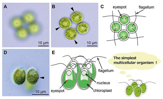 多細胞化(日本語)